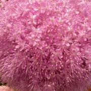 fiore di aglio